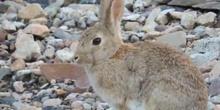 Conejo común Oryctolagus cuniculus Linnaeus, 1758