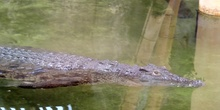 Cocodrilo del Nilo Crocodylus niloticus Laurenti, 1768