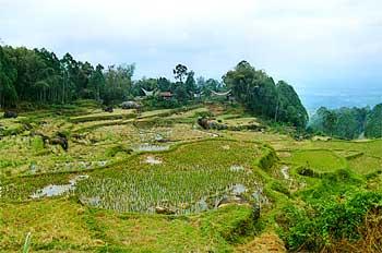 Campos de arroz en Rantepao, Sulawesi, Indonesia