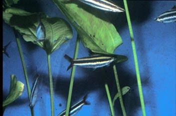 Pez lápiz (Annostomus sp.)