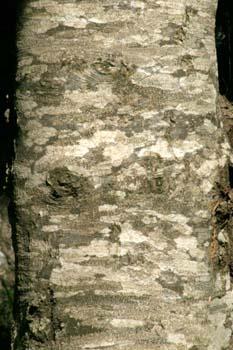 Haya - Tronco (Fagus silvatica)