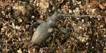 Gran Longicornio áptero (Morimus asper)