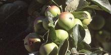 Manzano (Malus pumilla)