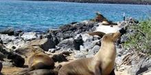 Colonia de lobos marinos, Isla Lobos, Ecuador