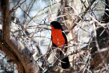 Pájaro nacional de Namibia, Namibia