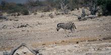 Cría de cebra, Namibia