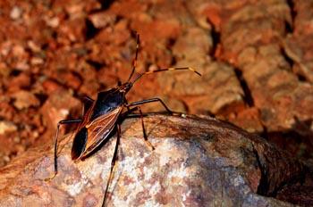 Escarabajo del desierto, Australia