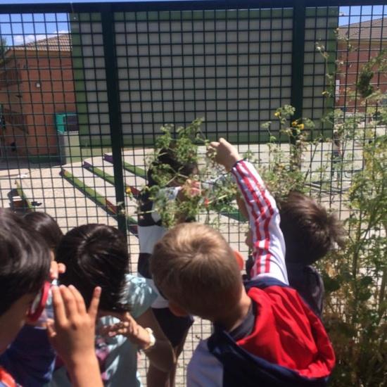 2019_06_11_4º observa insectos en el huerto_1_CEIP FDLR_Las Rozas 6
