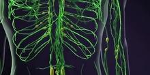 sistema linfático guardar como