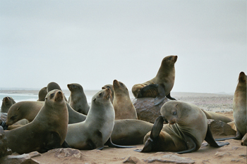 Grupo de leones marinos, Namibia