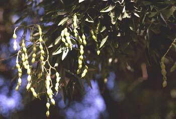 Falsa acacia de Japón - Hoja, fruto (Sophora japonica)