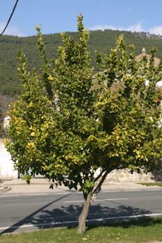 Limonero - Porte (Citrus limon)