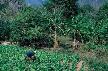 Plantación de tabaco, Cuba