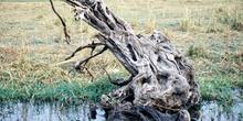 Tronco de árbol sobre el río, Botswana