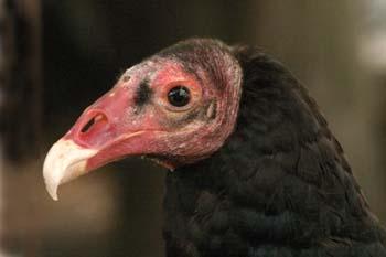Gallinazo común o zamuro de cabeza roja (Cathartes aura)
