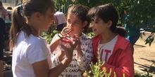 2019_06_11_4º observa insectos en el huerto_CEIP FDLR_Las Rozas 29