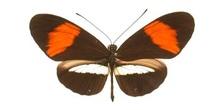 Heliconius sp. (Sudamérica)