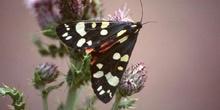 Quelonia (Arctia sp.)
