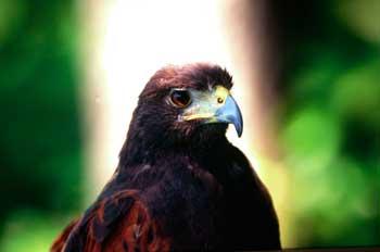 águila,