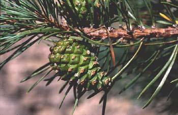 Pino silvestre - Piñas (Pinus sylvestris)